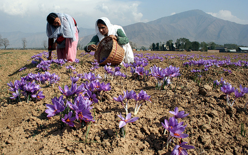 saffron harvesting in Pampore, Kashmir